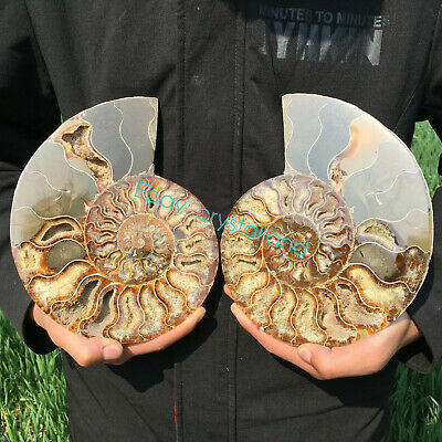 A Pair Natural Ammonite Fossil Conch Snail Shell Specimen Crystal Healing 700g+