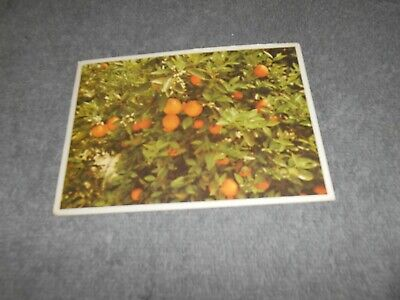 ( R )  Postcard - Oranges And Blossoms Florida - 1993