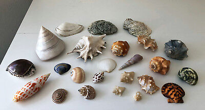 Shell Lot 24 Sea Shells for Aquariums Seascapes Beach Decor Crafts Collection