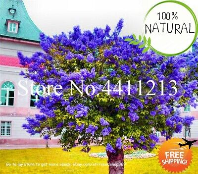 Bonsai Lilac Flower Seeds Plants Japanese (extremely Fragrant) Tree 100pcs