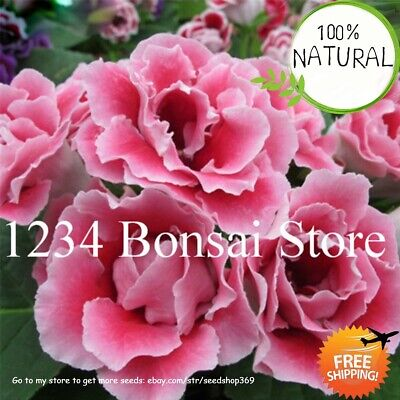 Real Gloxinia Bonsai Seeds Plants Sinningia Flower Potted For Rare Home 100pcs