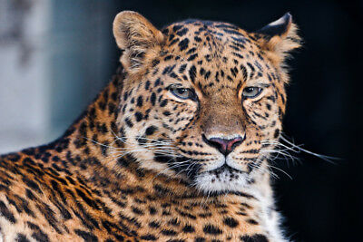 Leopard V2 LAMINATED ART POSTER 24x36in (61x91cm)