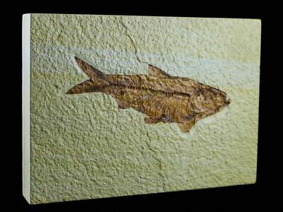 Xxl 4.6 In Knightia Eocaena Fossil Fish Green River Formation Wy Eocene Free Coa