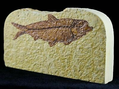 3.9 In Knightia Eocaena Fossil Fish Green River Formation Wy Eocene Age Free Coa