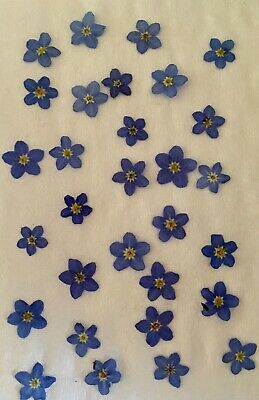 100  Pressed Forget Me Not Flowers