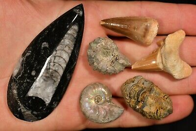 FOSSIL PACK 77g 6 Natural Fossils 2x Ammonite Trilobite Mosasaurus Shark Tooth