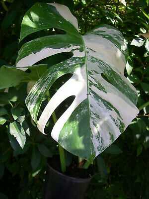 Philodendron Monstera Variegata