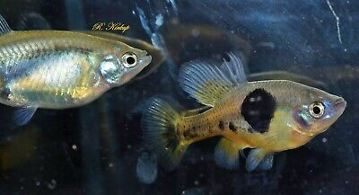 breeding pair Skiffia multipuctata TROPICAL FISH- Wild form of Livebearers