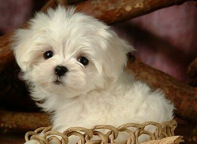 Set of 4 Dog Maltese Puppy Dogs Puppies Stationery Greeting Notecards/ Envelopes