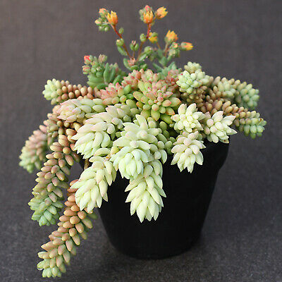 DONKEY  TAIL /& CRASSULA different species  succulents12 healthy pieces  Cutting
