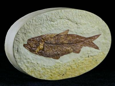 3.3 In Knightia Eocaena Fossil Fish Green River Formation Wy Eocene Age Oval
