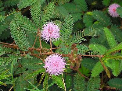 1000+ MIMOSA PUDICA seeds Sensitive Plant Fun For All Ages