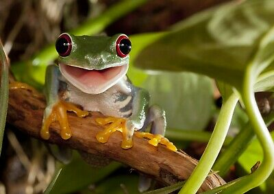 A4| Cute Red-Eye Tree Frog Poster Print Size A4 Wild Animal Poster Gift #14182