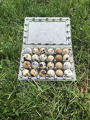 THIS HOLDS JUMBO EGGS 50 Quail Egg Cartons From Myshire Farm 24 Count Plastic