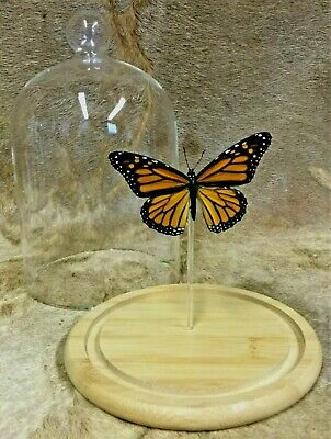 Bf06 Monarch Taxidermy Entomology Butterfly Specimen Glass Dome Dsply insect col