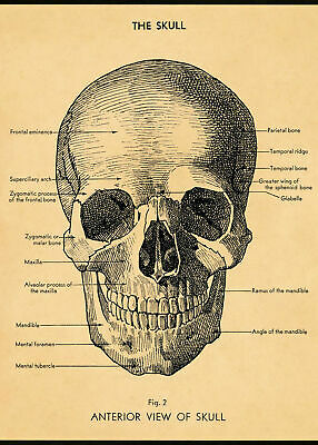 153885 Muscular System Skull Art Wall Poster Print AU