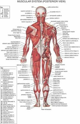156523 Human Body Anatomical Chart Muscular System Wall Poster Print AU