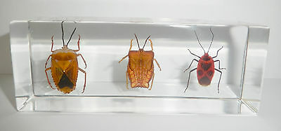Lychee Stink Bug & Ghost Bug & Black Spot Red Bug Clear 3 Bug Collection Set