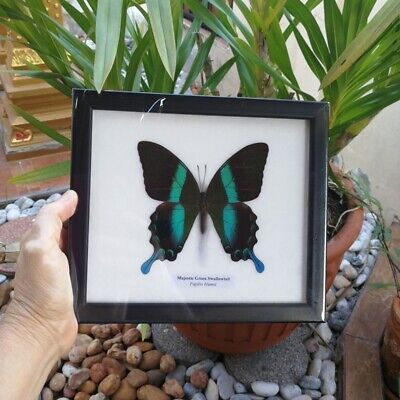 Papilio Ulysses Butterfly Real Green Black Frame  Mounted Insect Wings Taxidermy