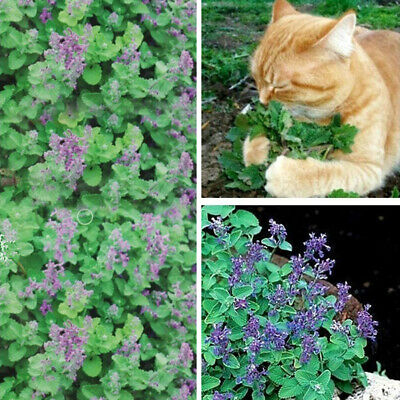 50Pcs Nepeta Cataria Seeds Catnip Catmint Herb Plant Bonsai Cat Snacks Bling