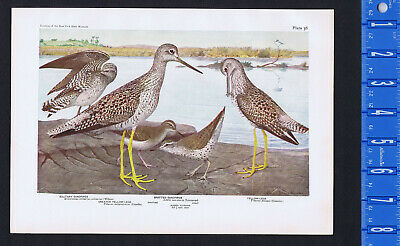 Greater Yellow Legs, Solitary & Spotted Sandpiper - 1936 Bird Print