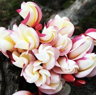 """Rooted Plumeria Plant  Cutting ~ Hawaiian Seashell ~ 12"""" With 1 Tip"""
