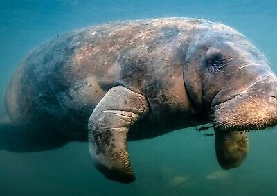 A3| Manatee Sea Cow Poster Print Size A3 Sea Creature Animal Poster Gift #16859