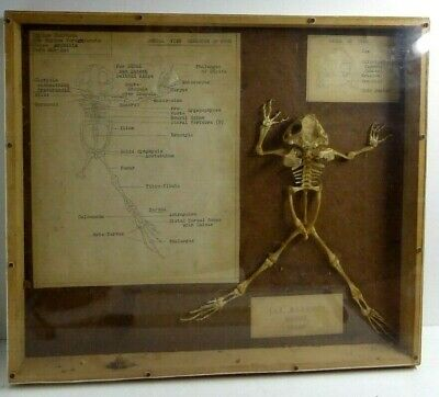 Antique Science Frog Bone Skeleton Model Biology Laboratory Display In  Case