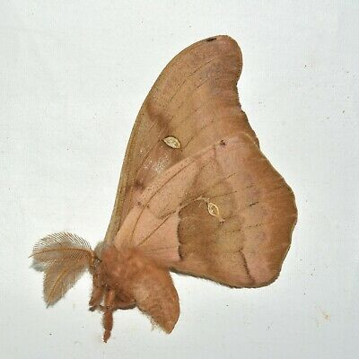 A1 Unmounted Antheraea polyphemus - Polyphemus Moth - Collection Data Included