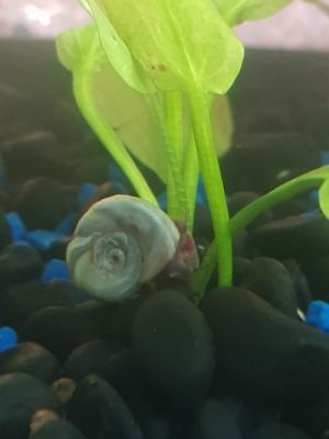 Rare 10 Spoty Leopard BLUE Ramshorn Snails Baby MIXED SIZE Tropical and cold