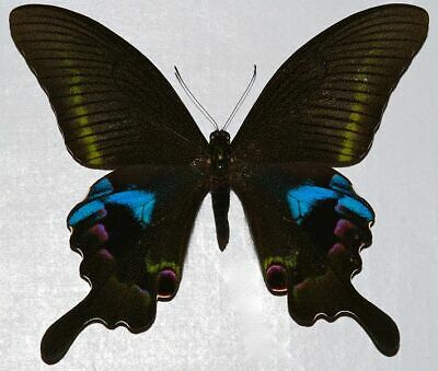 A Lot of 10 A1 EXTRA LARGE Papilio ulysses Unmounted Swallowtails AMBON ISL.