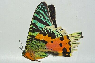 A- Unmounted Urania ripheus - Sunset Moth  - Ships from USA