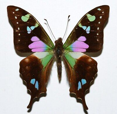 A1- Unmounted Graphium weiskei - Purple Mountain Swallowtail ships from USA