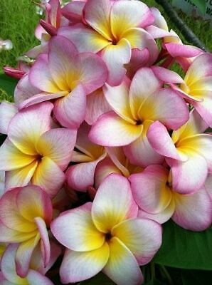 """Rooted Plumeria Tree Plant Cutting ~ """" Kona Candy """" 13"""" With 1 Tip"""