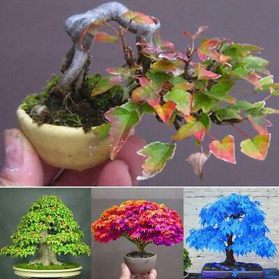 New Garden Adorable Flower Fragrant Seeds Blooms Maple Seeds C1MY