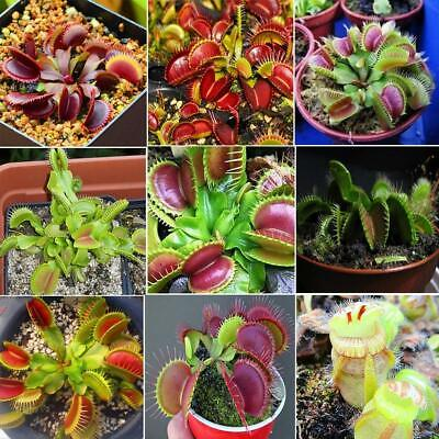 Potted Giant Clip Flytrap Grass Seeds Insectivorous Home Garden Plant C1MY