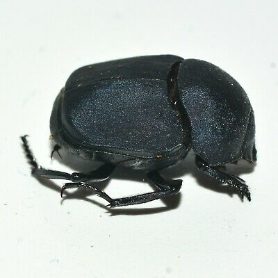 A1 Unmounted Canthon vigilans - Dung Beetle  -  from USA -  Data Included