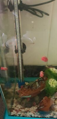 Pink Pearl Ramshorn snails  15 MIXED SIZE & COLOUR Tropical  and cold