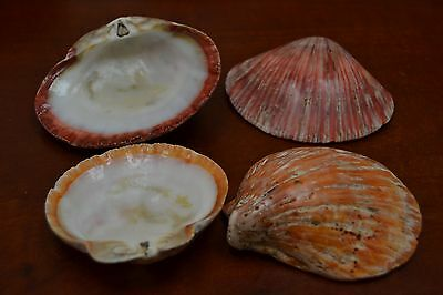 """4 Pcs Red And Orange Spiny Oyster Sea Shell Beach 3"""" - 4"""" #T-149"""