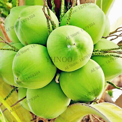 Coconut Tree Bonsaiperennial Seeds Plants Tropical Fruit For And Home 10pcs/bag