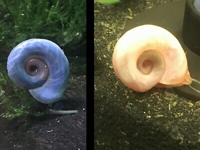 TROPICAL RAMSHORN SNAILS 2x Pink & 2x Blue