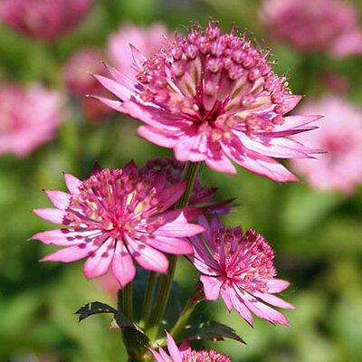 ASTRANTIA MAJOR ROMA 20 Graines 20 Zaden 20 Seeds  2019