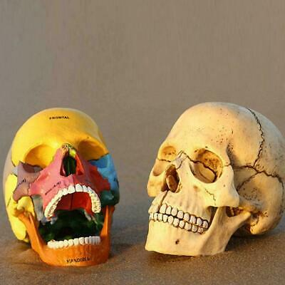 NEW 4D PUZZLE Didactic Exploded Beauchene Skull Color Human