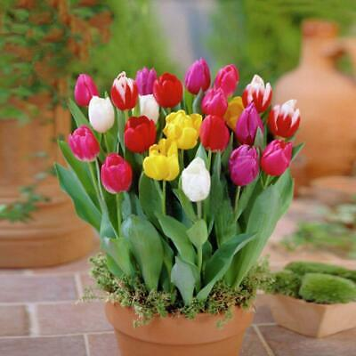 7 Colors Perfume Tulip Seed Decor Flower Bonsai Seeds Home Garden Potted RNNR 08