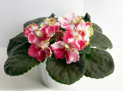 ☘ SM-VECHNIY MAY ☘ ETERNAL MAY ☘ African Violet Plant ☘ Plug Russian Variety