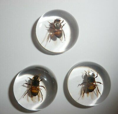 Insect Cabochon Honey Bee Apis mellifera Round 25 mm Clear 3 pieces Lot