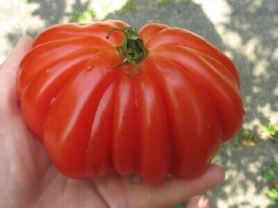 ≡ Lot de 20 Graine de Tomates Coeur de Boeuf TOP QUALITE BIO  ≡