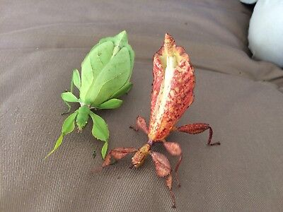 Leaf insect eggs! phyllium philippinicum, easy to care/breed. Stick insect