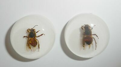 Insect Cabochon Honey Bee Apis mellifera Round 25 mm white 2 pieces Lot