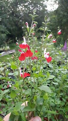Perennial Flowers & Plants Salvia microphylla 'Hot Lips' Plants, Seeds & Bulbs Perfect for Pollinators